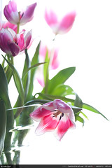 Tulipes (Ludtz) Tags: pink flowers white green rose fleurs canon tulips vert blanc ambiance tulipes douvaine 5dmkii canoneos5dmkii ludtz ef135|2l