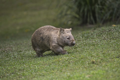 Wombat (Official San Diego Zoo) Tags: animals zoo sandiego wildlife wombat