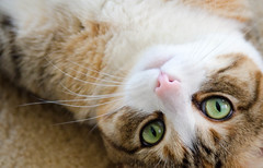 Sultry Kitty (Maggggie) Tags: green cat eyes upsidedown kitty sultry 93 113picturesfor2013