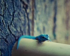 blue. (angsthase.) Tags: blue deutschland bokeh lizard tuesday nrw dailylife blau 2012 dienstag allwetterzoomnster mft micro43 olympuspenepl1 olympusm45mmf18