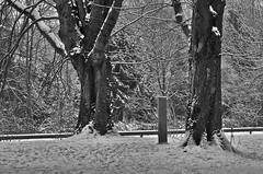 Zwei Bäume  Januar 2013 (efgepe) Tags: trees bw blackwhite nik schwarzweiss bäume silverefexpro neuss2012stadtwaldwinterjanuar