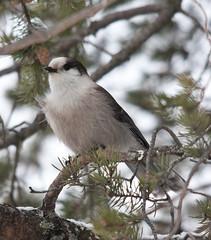 Grey Jay (cblorenaturefotos) Tags: whiteshellprovincialpark greyjay jessicalakelodge