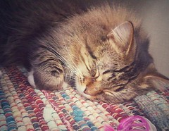 sleepy kitty (ohpapercut) Tags: pet cat store kitten sleep  petco  ohpapercut