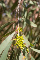 COP Eucalyptus camaldulensis ad (COPbiodiversity) Tags: city red plant fruit river garden gum native australian young feather seed orchard cop eucalypt council botanic species eucalyptus sa southaustralia redgum playford riverredgum hillbank cityofplayford billdoyle localnative seedorchard littleparariver lpso littlepara littleparaseedorchard