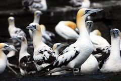 La Vedetta (Wrinzo) Tags: ocean sea scotland mare atlantic uccelli shetland oceano sula scozia morusbassanus shetlandislands sulabassana sebird ucellimarini isoleshetland