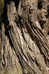 Salixbabylonica11179MPMTw2209Flickr (Millette Garden Pictures) Tags: pictures garden arbres willow bark weeping salix millette babylonica milletterjean