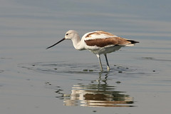 American Avocet (TexasEagle) Tags: birds arlington texas americanavocet recurvirostraamericana wadingbirds villagecreekdryingbeds beautifulworldchallenges