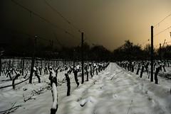 vigne de nuit (kolani_57) Tags: blackandwhite snow france nikon noiretblanc neige vin pied lorraine vigne cep moselle vaux poselongue d3000