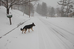 Neighborhood Walk (wmliu) Tags: usa dog snow animal us newjersey walk nj chatham germanshepherd creature offleash morriscounty wangwang wmliu