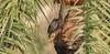 Jungle Myna (Acridotheres fuscus) (Imthyas Ahmed Shirajee) Tags: bird nature birds photography nikon university photographer wildlife photographers delta east jungle ahmed ctg bangladesh vr bangla birdwatcher chittagong 70300 myna acridotheresfuscus d90 fuscus imti pakhi acridotheres birdsofbangladesh junglemynaacridotheresfuscus chattagram imthyas shirajee mehidibag