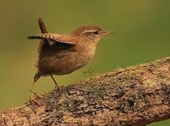 jenny wren. (baxster5117) Tags: uk birds canon small wren
