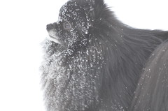 Snowy- face Bear (Rebeak) Tags: bear dog white snow weather nikon pomeranian winterscape cannie mygearandme nikond5100