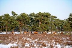 Park Hoge Veluwe (marcoderksen) Tags: park winter sneeuw arnhem hoge zondag veluwe hogeveluwe reen 2013 edelherten