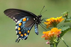 Blue Heaven (DrPhotoMoto) Tags: blue red orange black butterfly northcarolina lantana lantanacamara richmondcounty tfi pipevineswallowtail battusphilenor thinfilminterference