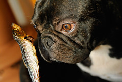 Griffin, bouledogue franais (Goldelie) Tags: dog chien pet pets fish dogs animal animals french bulldog peixe frenchbulldog animaux poisson griffin franais chiens friandises anchois friandise bouledoguefranais bouledogue