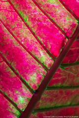 magenta leaf (VIVIAN GEROGIANNI) Tags: pink abstract macro green nature water floral closeup leaf vibrant background magenta drop saturation veins