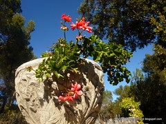 On February Gerneos (LAURA CLIMENT (FOTOS)) Tags: flowers winter flores geraneos fotolauracliment
