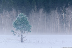 The Breath of Winter (adatt) Tags: yosemite yosemitewinter treeinmeadow adarshdattani