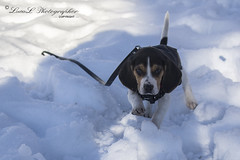 Snoopy il Beagle delle Nevi (LucaL Photographer) Tags: dog snow cute beagle dogs animal animals cane digital puppy fun photography photo puppies nikon funny photographer sigma il f snoopy neve 28 fotografia f28 beagles cucciolo dx cani 2040 delle sigma2040 nevi focale lucal d3100 lucalphotographer
