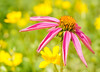 Pastels etc (Uncle Tee TX) Tags: flower color closeup bokeh lightroom persephonesgarden sonynex5n