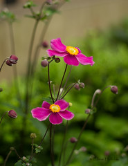 Japanese Anemones (loobyloo55) Tags: pink flowers flower green canon flora