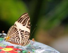 Colobura dirce (ekenitr) Tags: butterfly papillon schmetterling vlinders leidschendam nymphalidae vlindertuin nymphalinae vlindersaandevliet coloburadirce dircebeauty colobura ekenitr