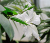 Hibiscus rosa-sinensis 'Dainty White', Chinese roos (ekenitr) Tags: flower malvaceae hibiscusrosasinensis shrub rosemallow tropicalplants struik struiken chineseroos chinesischerroseneibisch kaasjeskruidfamilie hibiscusrosedechine ekenitr