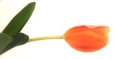 Dramatic Orange (school40) Tags: photomix wonderfulworldofflowers blinkagain flowerthequietbeauty