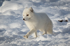 Out on a walk... (nemi1968) Tags: winter white snow animal norway canon paw ngc arctic norwegian npc fox endangered paws langedrag arcticfox alopexlagopus polarfox whitefox snowfox thewildlife ef70200mmf4lisusm