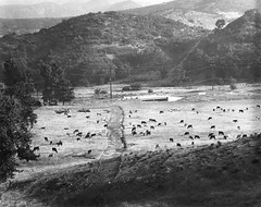 Cattle on the Albertson Ranch (ConejoThruTheLens) Tags: cowboys cattle conejothroughthelens albertsonranch