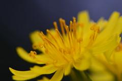 080313 (6) (deta k) Tags: flowers macro berlin germany deutschland flora natur pflanzen blumen blüten sooc botanischergartenberlin nikond5100
