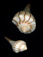 Whelk Tops (zxgirl) Tags: shells stpetersburg florida shell scanned fl animalia mollusca gastropoda mollusk mollusks onblack pinellascounty eukaryota passagrillebeach epsonperfection3170 lophotrochozoa orthogastropoda lightningwhelk neogastropoda buccinidae busycon opisthokonta buccinoidea busyconcontrarium neomura holozoa filozoa taxonomy:binomial=busyconcontrarium busyconinae busyconini