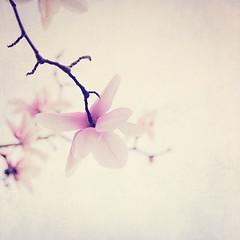 Magnolia in Spring (Melanie Alexandra Photography) Tags: sanfrancisco goldengatepark macro nature springtime naturephotography