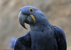 Hyacinthine macaw (gentle lemur) Tags: chesterzoo anodorhynchushyacinthinus hyacinthinemacaw