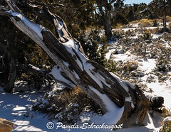 Tree with Snow (pamelainob (Pamela Schreckengost)) Tags: arizona snow grandcanyon southrim desertview grandcanyonnationalpark desertviewdrive grandcanyonsouthrim pamelaschreckengost pamschreckcom 2013pamelaschreckengost