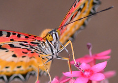 Up Close (ToddP99z) Tags: pink orange white flower macro nature closeup butterfly insect lepidoptera papillon mariposa vlinder perhonen orangelacewing cethosiapenthesilea