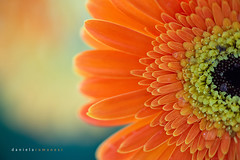 Here comes the sun (Daniela Romanesi) Tags: orange sun flower macro petals laranja flor 100mm grbera f28 delicado 03266
