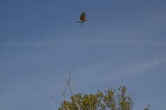 Bird with twig - building a nest somewhere? (jramspott) Tags: birds animals unitedstates florida miami gators swamp everglades alligators