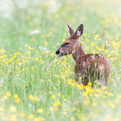 Summer dreams ~~~~~ (Grandpops Woodlice) Tags: summer deer roe roedeer outthebackofourhouse