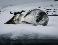 A rude awakening (xeno_sapien) Tags: ice antarctica leopard seal canon70200f4l