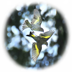 siskin  skirmish . . . (dragonflydreams88) Tags: siskins