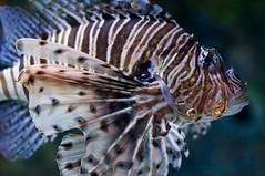 Oceanário de Lisboa (Rupert Rand) Tags: portugal lisbon oceanáriodelisboa beautifulfish stripeyfish