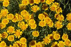yellow flowers (BobRobin) Tags: cascades ellensburg washington flower