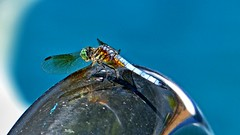 P1030297j (jmctuna) Tags: insect lumix bigeyes colorful dragonfly panasonic hdr jmctuna fz200
