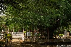 (Dubai Jeffrey) Tags: 1200yearold chiba chibadera japan temple tree