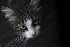 Chasing Shadows. (miyukiz4 su ood) Tags: cat kitten  gttino chaton gatito ktzchen gatinho
