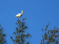 White Ibis 20160821 (Kenneth Cole Schneider) Tags: florida miramar westbrowardwca