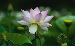 Elegance and Light    (Thank you, my friends, Adam!) Tags:      adamzhang telephoto nikon dslr       lens central florida wildlife macro closeup flower beauty curve fine art photography photographer excellent gallery     garden color colorful colors   beautiful gorgeous elegance light   waterlily  lotus ngc