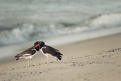 Like two ships passing... (dog ma) Tags: birds american oystercatcher shore beach shorebirds nikon d300s 300mm 17 teleconverter shotat500mm dogma jodytrappephotography belmarnj shallowdepthoffield bokeh sloping sand