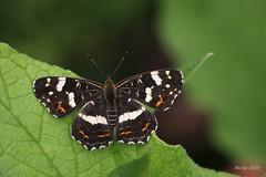 IMG_003571_k - Araschnia levana - Landkaartje (Monique van Gompel) Tags: vlinder dagvlinder butterfly landkaartje araschnialevana aurelia nymphalidae